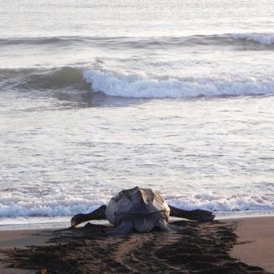 Leatherback Costa Rica