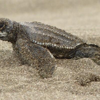 costa rica turtles III