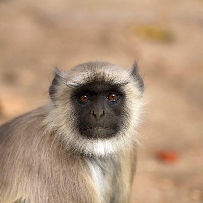 monkey-1086905_1280